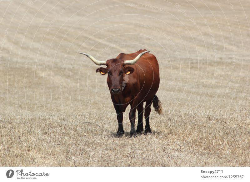 Pure Kraft Natur Schönes Wetter Wiese Nutztier Kuh 1 Tier bedrohlich trocken Wärme braun Gelassenheit geduldig ruhig ästhetisch Klima Umwelt Farbfoto