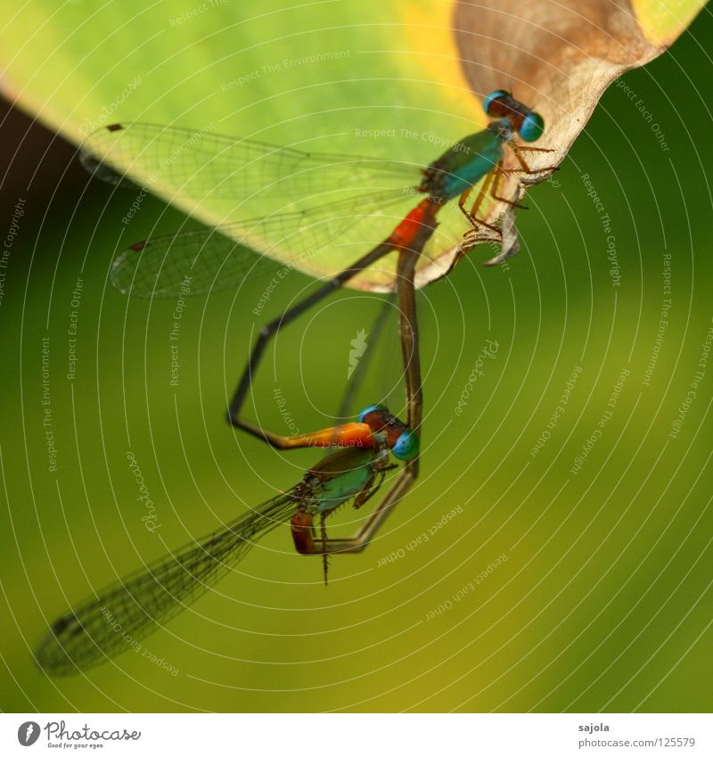 libellenliebe Natur grün Tier orange Herz Tierpaar Wildtier Flügel Insekt dünn türkis Intimität filigran Bündnis Libelle hellgrün