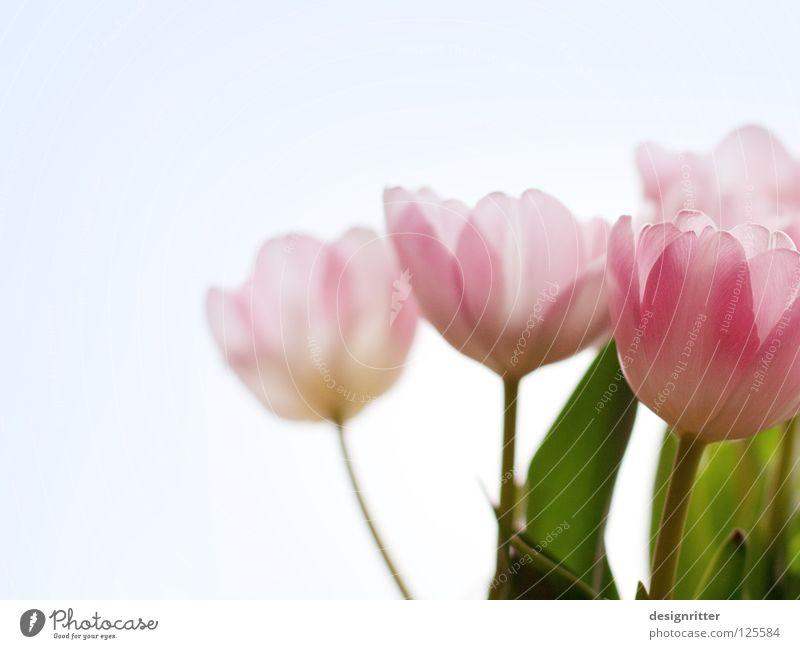 Berühr´ mich nicht Tulpe Blume Pflanze Blüte Blühend schön zart filigran durchscheinend durchsichtig zerbrechlich verwundbar rosa unberührt unschuldig Vertrauen