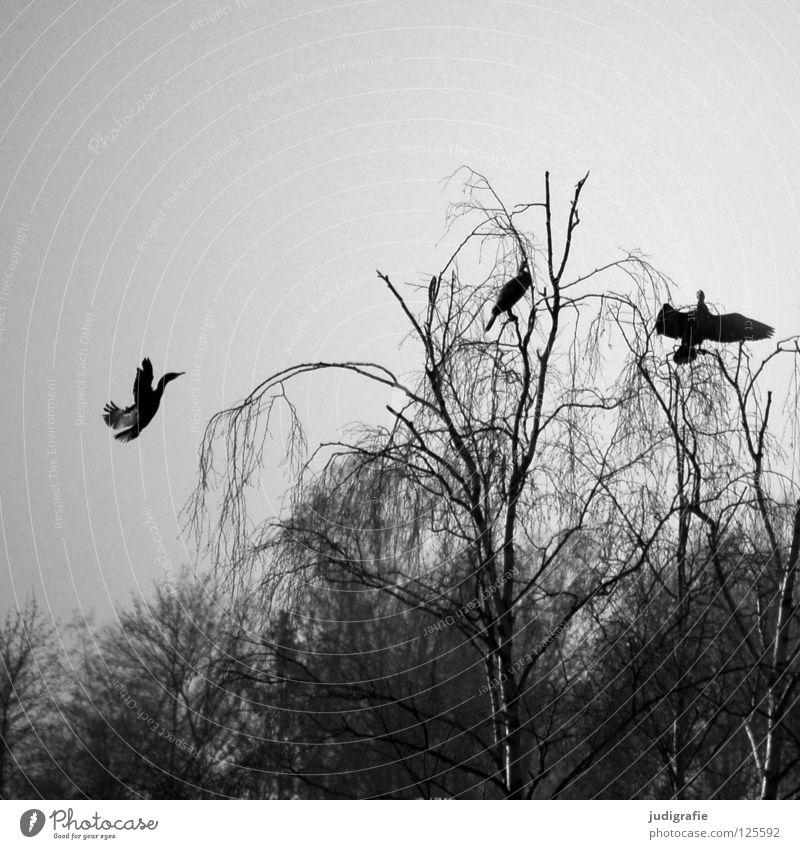 Am Silbersee Vogel Birke Baum Wald Nebel trist grau Kormoran 3 Ruderfüßer See Teich Winter Schwarzweißfoto Himmel sitzen Aussicht Erholung Feder Küste