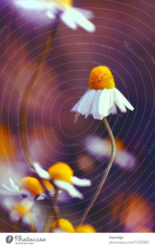 Kamillenblüten II Umwelt Natur Pflanze Sommer Blume Blüte Nutzpflanze Garten Park Wiese Blühend Duft gelb orange weiß Gesundheit Gesundheitswesen Teegewächse