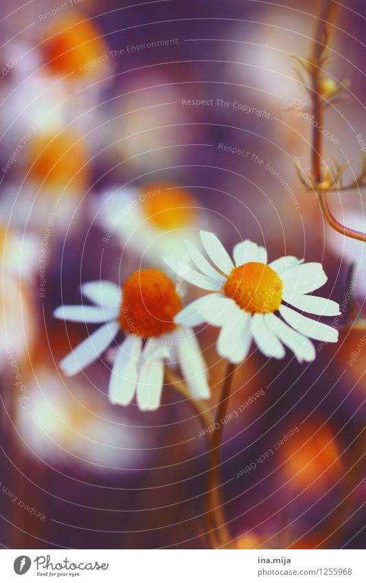 Kamillenblüten Natur Pflanze Sommer weiß Blume Umwelt gelb Blüte natürlich Gesundheit Garten orange Blühend Kräuter & Gewürze Duft Margerite