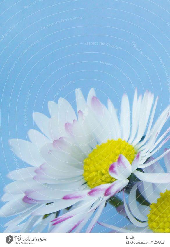GÄNSEBLÜMCHEN Freude Frühling Sommer Pflanze Blume Blüte Wiese Blumenstrauß Blühend weich blau weiß Romantik Liebesgruß Gänseblümchen Heilpflanzen Blütenstempel