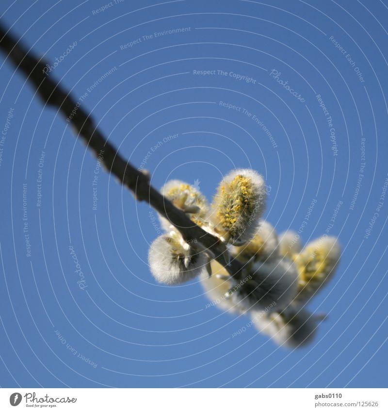 Salix Weidenkätzchen gelb Honig Biene Staubfäden Holz Blüte grau weich Unschärfe himmelblau Frühling Pflanze Salicaceae Himmel Natur Pollen Nektar allergisch
