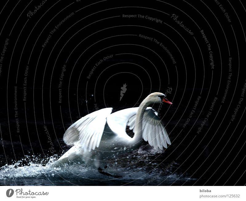 Schwan landet vor dunklem Hintergrund im Wasser landung Federvieh lang weich Anmut elegant Flügel schwarz dunkel weiß Vogel Gischt Gewässer See Brunft