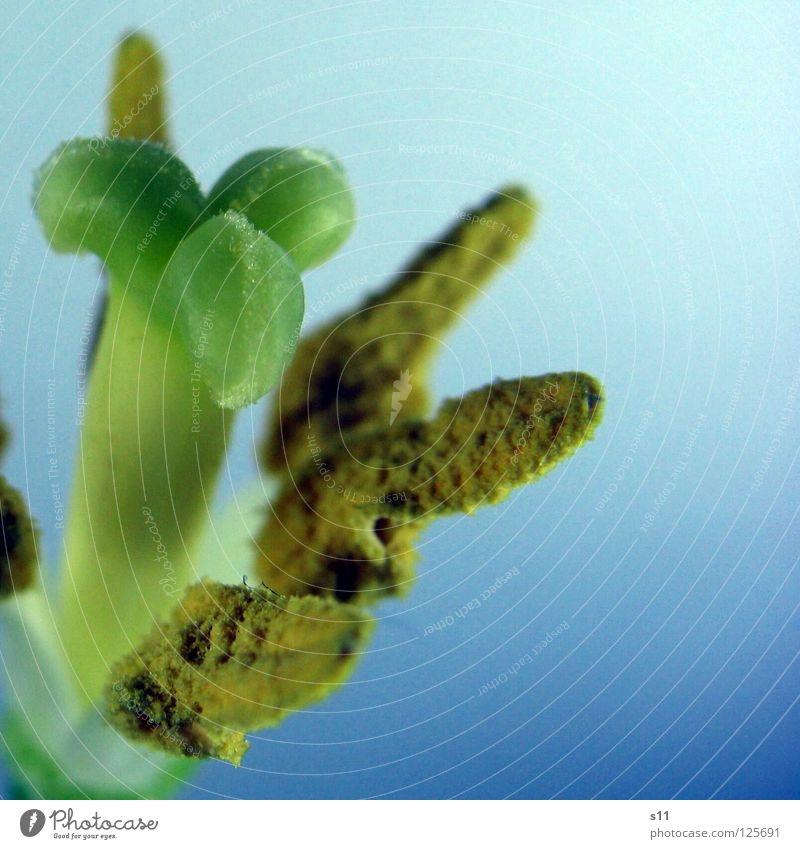TulpenKrone schön Blume grün blau gelb Blüte Frühling Zeit Vergänglichkeit Mitte Blühend Quadrat Baumkrone Pollen Stempel