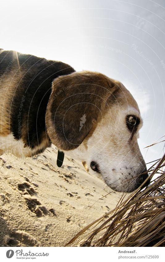 Hund am Strand Beagle Haustier Tier Sommer Winter See Schilfrohr Spuren spionieren Suche Schnauze Hängeohr dreifarbig Fell Tierporträt Jagdhund blenden