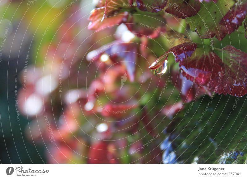 nach dem Regen Natur Pflanze Wassertropfen Sonnenlicht Herbst Sträucher Blatt Garten Park Wachstum frisch glänzend kalt nass grün rot ruhig Reinheit Idylle rein