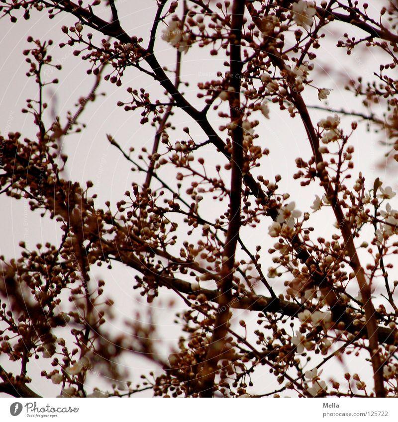 Frühlingshimmelblick Blüte Baum Geäst Blühend sprießen frisch aufwachen rosa Pastellton Park Ast Zweig Blütenknospen ausschlagen Trieb Himmel oben Blick neu