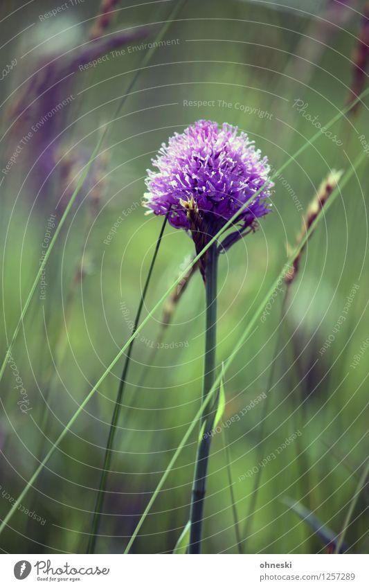 Blume Umwelt Natur Pflanze Sommer Gras Garten Wiese violett Fröhlichkeit Zufriedenheit Lebensfreude Frühlingsgefühle Idylle ruhig Farbfoto mehrfarbig