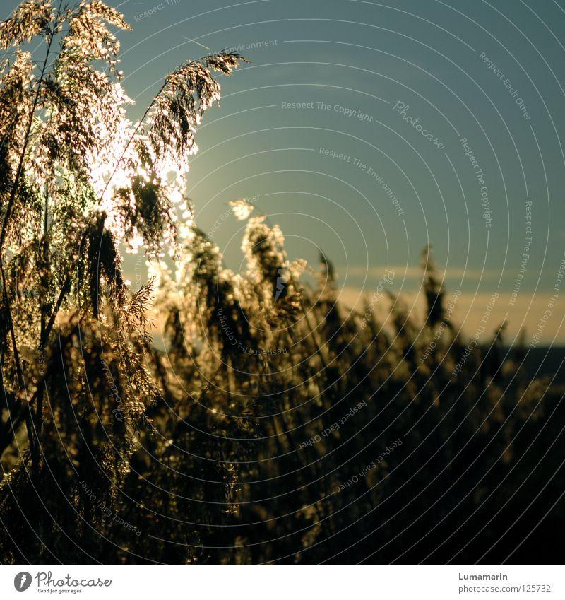 Sonnenglanz Gras Schilfrohr Halm Licht Sonnenuntergang Abendsonne Physik glänzend glühen Abschied trösten Sehnsucht schön Hoffnung Winter Vergänglichkeit Himmel