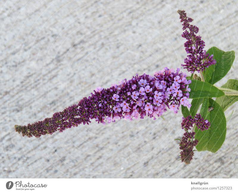 Für Schmetterlinge Pflanze Sträucher Blatt Blüte Sommerflieder Blühend Duft natürlich grau grün violett Farbe Natur Schmetterlingspflanze Doldenblüte