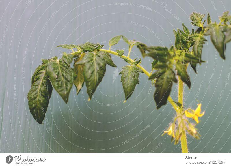 Tomatensalat - Anfangsstadium Lebensmittel Gemüse Salat Salatbeilage Pflanze Blatt Blüte Nutzpflanze tomatenpflanze Blühend Wachstum Gesundheit natürlich gelb