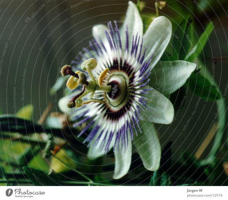 Passionsblume Blume Blüte grün violett Natur flower bloom