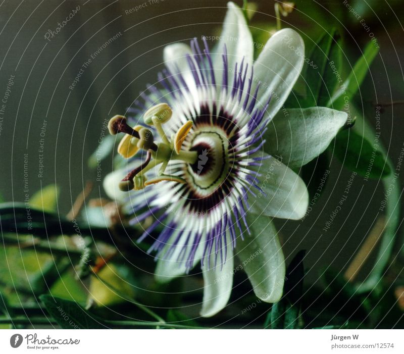 Passionsblume Natur Blume grün Blüte violett Passionsblume
