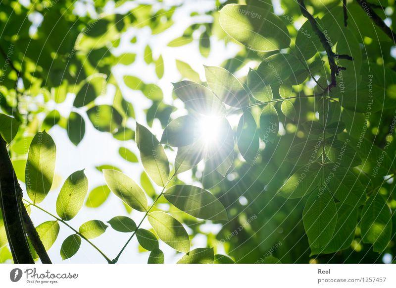 Walnussblätter Natur Pflanze Urelemente Sonne Sonnenlicht Sommer Blatt Grünpflanze Wildpflanze Walnussblatt Echter Walnussbaum Blätterdach Baumkrone