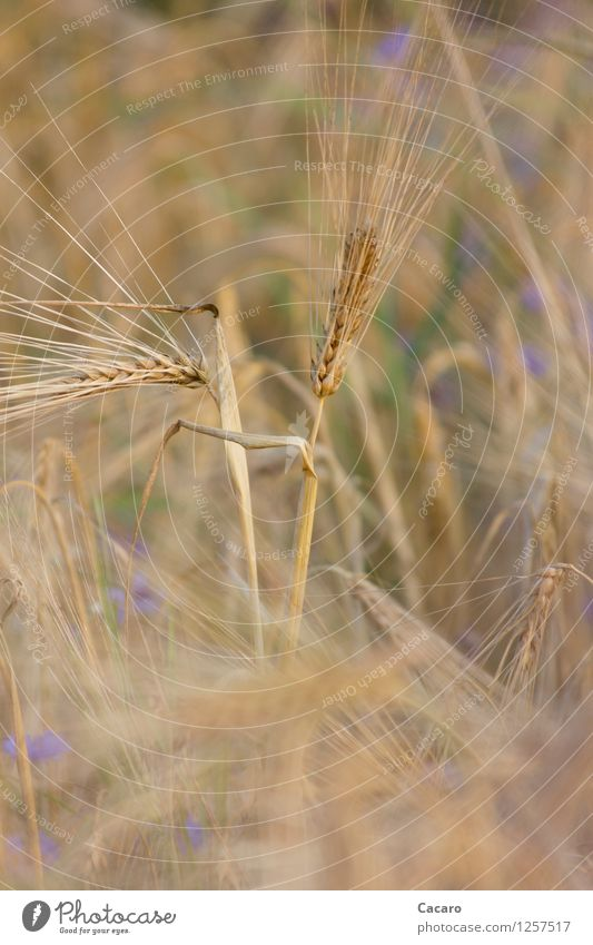 elegantes Getreide Gesunde Ernährung Allergie Sommer Natur Pflanze Nutzpflanze Getreidefeld Gerste Feld ästhetisch braun gold Gesundheit Farbfoto