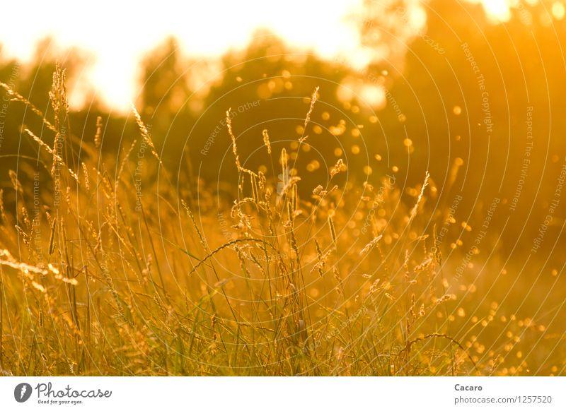 Mückentanz Natur Pflanze Sommer Erholung Landschaft ruhig Wärme Wiese Gras natürlich Glück Stimmung träumen orange leuchten gold