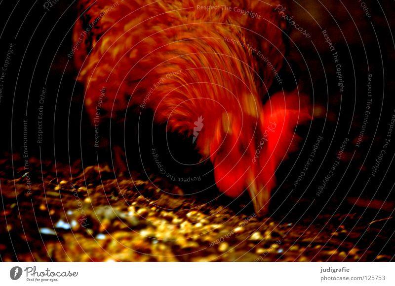 Huhn Haushuhn Haustier Korn Feder Federvieh Schnabel Futter Landwirtschaft Bauernhof Vogel rot Farbe Flügel Getreide Tierzucht Bewegung Dynamik Ernährung