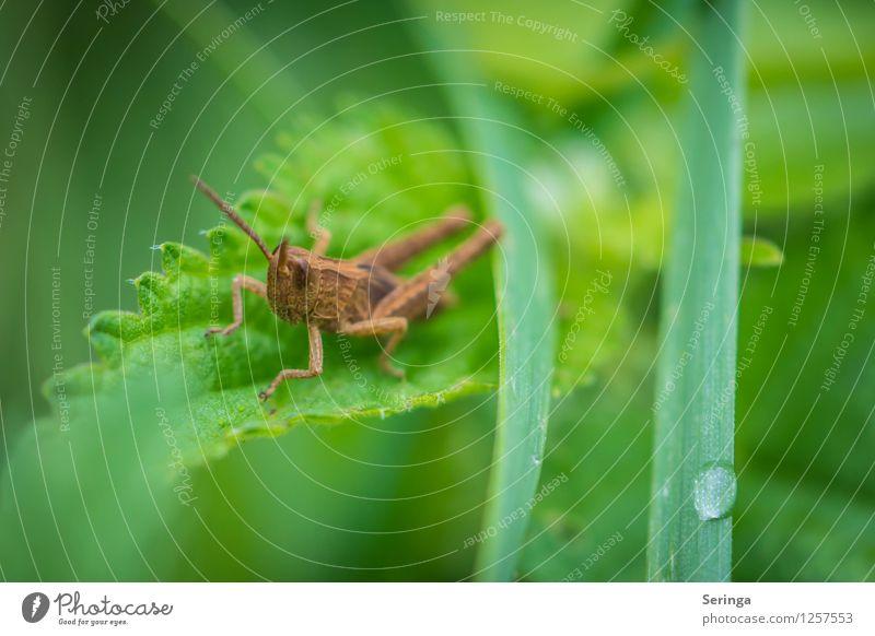 Grashüpfer Egon Pflanze Tier Käfer Tiergesicht 1 hocken springen Steppengrashüpfer Farbfoto mehrfarbig Außenaufnahme Nahaufnahme Detailaufnahme Makroaufnahme