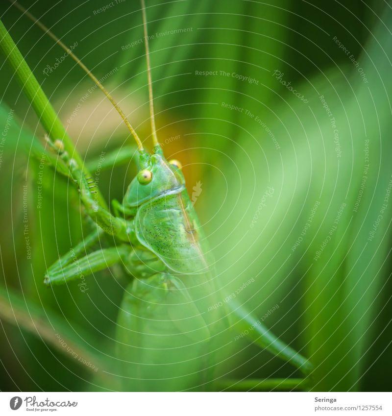 Aufstieg einer Heuschrecke Pflanze Tier Käfer Tiergesicht 1 hängen krabbeln springen Steppengrashüpfer Insekt Farbfoto mehrfarbig Außenaufnahme Nahaufnahme