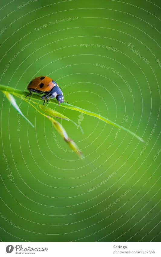 Rot auf Grün Natur Pflanze Tier Käfer 1 fliegen hängen Insekt Marienkäfer Farbfoto mehrfarbig Außenaufnahme Nahaufnahme Detailaufnahme Makroaufnahme Tag Licht