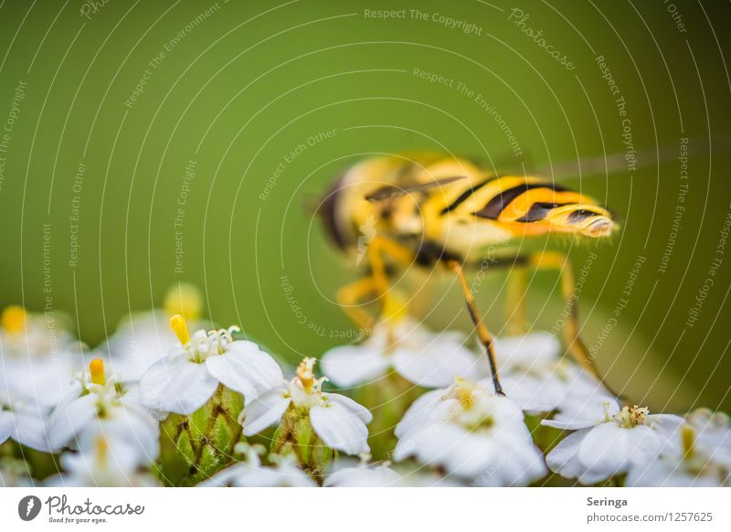 Schwebfliege von hinten Pflanze Tier Fliege 1 Duft entdecken fliegen Farbfoto mehrfarbig Außenaufnahme Nahaufnahme Detailaufnahme Makroaufnahme