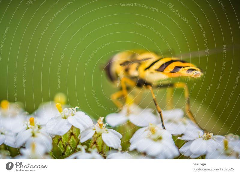 Schwebfliege von hinten Pflanze Tier fliegen Fliege entdecken Duft