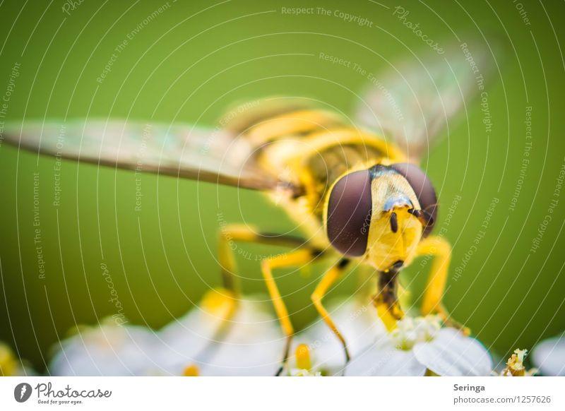 Schwebfliege 1 Pflanze Tier Fliege Tiergesicht Flügel fliegen krabbeln Insekt Farbfoto mehrfarbig Außenaufnahme Nahaufnahme Detailaufnahme Makroaufnahme Tag