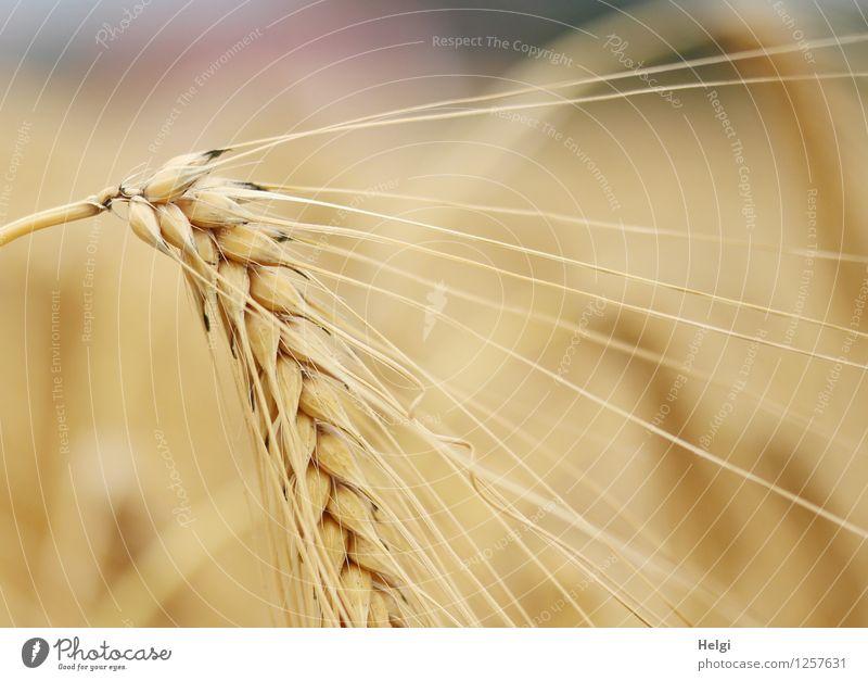habe die Ähre... Lebensmittel Getreide Umwelt Natur Pflanze Sommer Schönes Wetter Nutzpflanze Gerste Gerstenähre Gerstenfeld Kornfeld Feld dehydrieren Wachstum