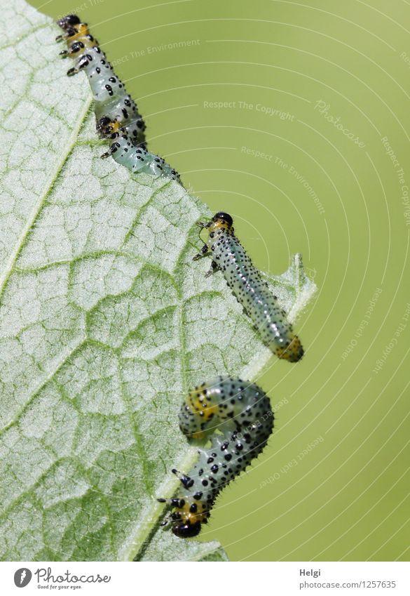 gefräßiges Völkchen... Umwelt Natur Pflanze Tier Sommer Blatt Blattadern Garten Raupe 3 Tierjunges Fressen krabbeln authentisch Zusammensein einzigartig klein