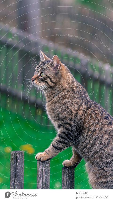 Kater Clemens auf der Pirsch Haustier Katze 1 Tier Wachsamkeit beobachten Hauskatze Tigerfellmuster Blick Gartenzaun Farbfoto Außenaufnahme Menschenleer