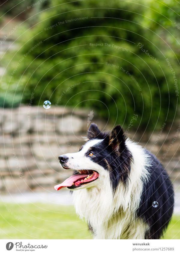 Hund, Border Collie, Blase beobachtend weiß Freude Tier schwarz Gras Spielen Garten Aktion Textfreiraum Fröhlichkeit niedlich Haustier Säugetier kuschlig