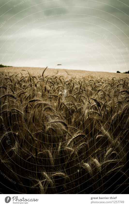 Trockenheit Umwelt Natur Landschaft Tier Luft Himmel Wolken Horizont Sommer Klima Wetter Wind Pflanze Nutzpflanze natürlich trocken braun gelb gold grün