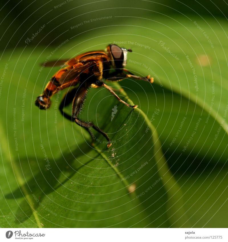 beine reib und los... Natur grün Blatt Tier Beine Fliege Insekt Streifen Wildtier gestreift Schwebfliege