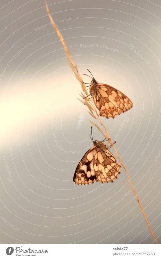 Balance Natur Tier Himmel Sommer Wildtier Schmetterling Schachbrett melanargia galathea 2 berühren hängen krabbeln sitzen warten ästhetisch Zusammensein oben