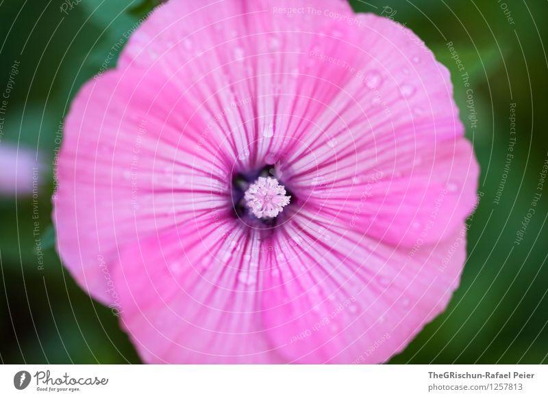 Garten-Schönheit Natur Pflanze schön grün weiß Blume Blatt schwarz Umwelt Blüte rosa ästhetisch Wassertropfen Gartenarbeit Verlauf