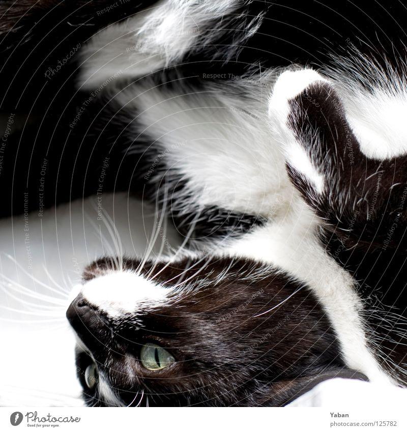 The trend is your friend Katze schwarz weiß weich Katzenpfote Pfote Oberlippenbart Schnurrhaar Miau Säugetier Freude Katzenporno Lucy die Schlampe