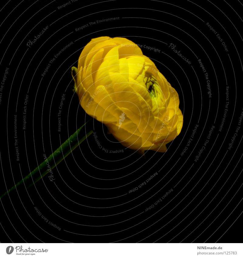 Ranunkel.Blüte Blume Blütenblatt Blühend gelb schwarz grün Blütenstiel Hahnenfußgewächse dunkel Frühling Sommer Jahreszeiten luftig Pflanze Blumenladen