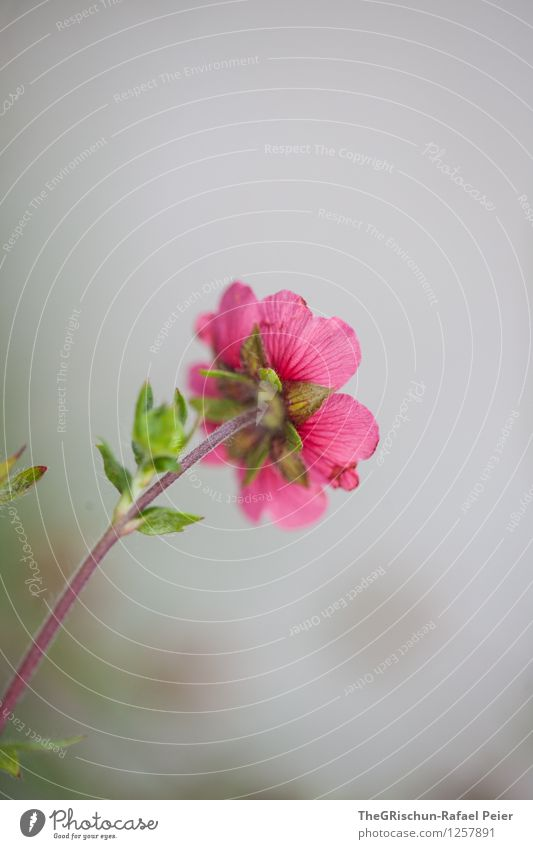Blume Umwelt Natur Pflanze grau grün violett rosa weiß Blumenstengel Blüte Blatt ästhetisch schick schön ausgestreckt Schwache Tiefenschärfe Garten Farbfoto