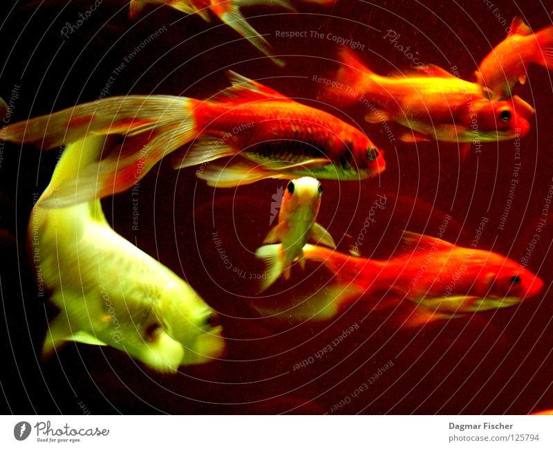 Der weiße Hai Wasser rot Meer Tier gelb Leben See Freundschaft Zusammensein orange nass gold Fisch mehrere Freizeit & Hobby Schwimmen & Baden