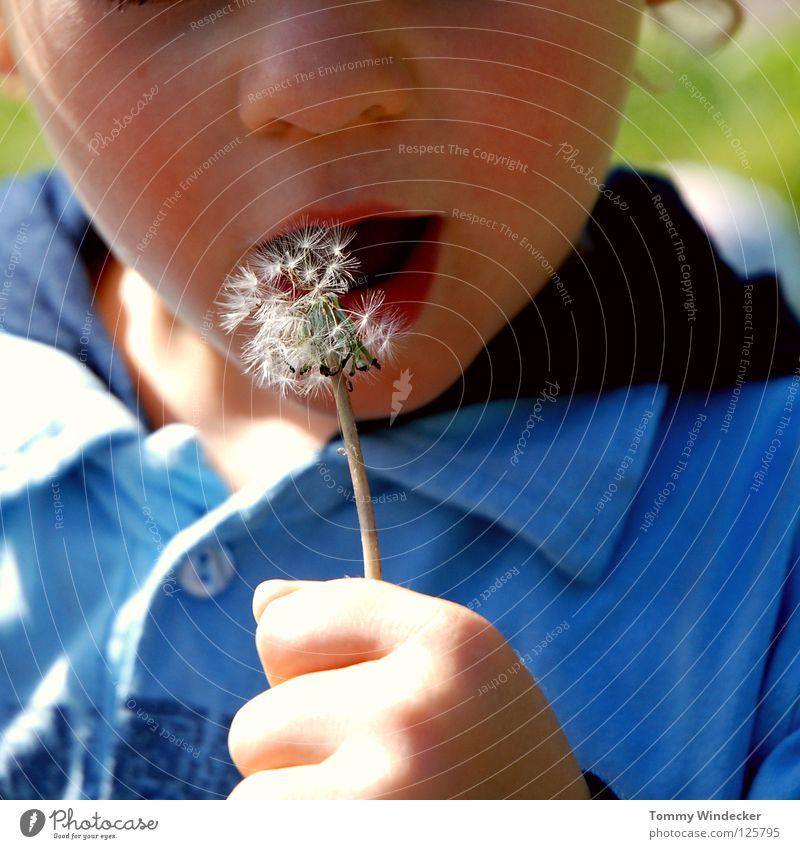 Peter Lustig Junior Kind Kleinkind Junge Löwenzahn blasen Frühling kindlich Spielen klein Sonnenlicht Blume Pflanze Blüte Gänseblümchen Samen Fallschirm