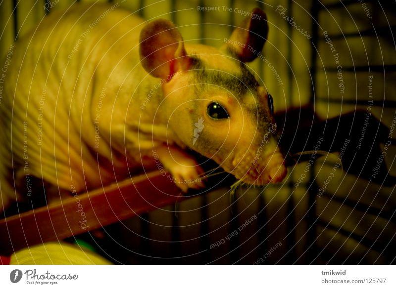 Rat lustig Säugetier Haustier Empfehlung lieblich Ratte Tier