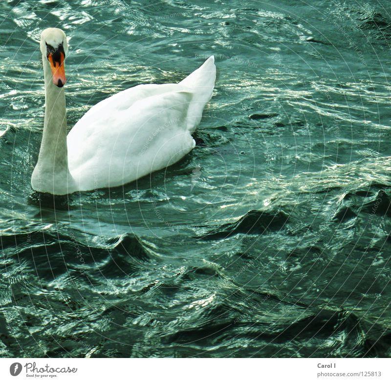 Sturmwarnung!!! Schwan Wellen Schnabel dunkel Wind weiß Feder Vogel tief Eisenbahn See Schweiz Zugersee Leben Leidenschaft Unwetterwarnung gefährlich Tier