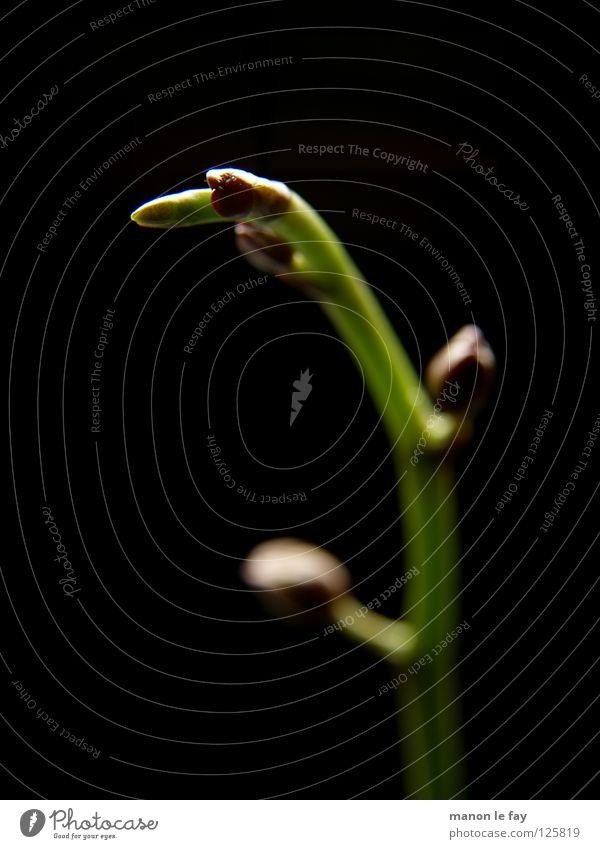 Orchi Deenknospe Natur schön Blume grün Pflanze schwarz Leben Blüte Beleuchtung elegant violett zart außergewöhnlich Stengel obskur skurril