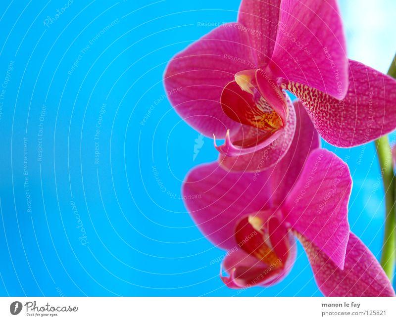 Volta rosa Orchidee Blume Blüte zyan Anmut zerbrechlich Makroaufnahme Nahaufnahme blau elegant exotisch schön