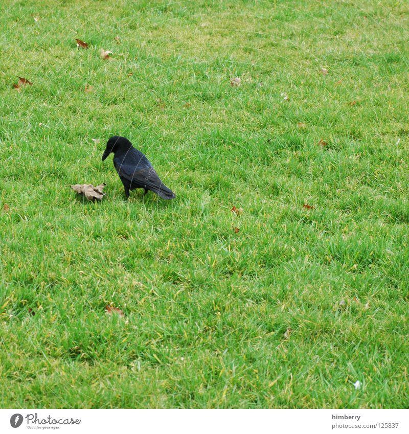 vogelsohn Vogel Wiese Gras Tier Desaster Park Lebewesen Luftverkehr Garten ne vögeln is falsch hier aber dafür is wiese gut und raabe auch Natur Rasen bird