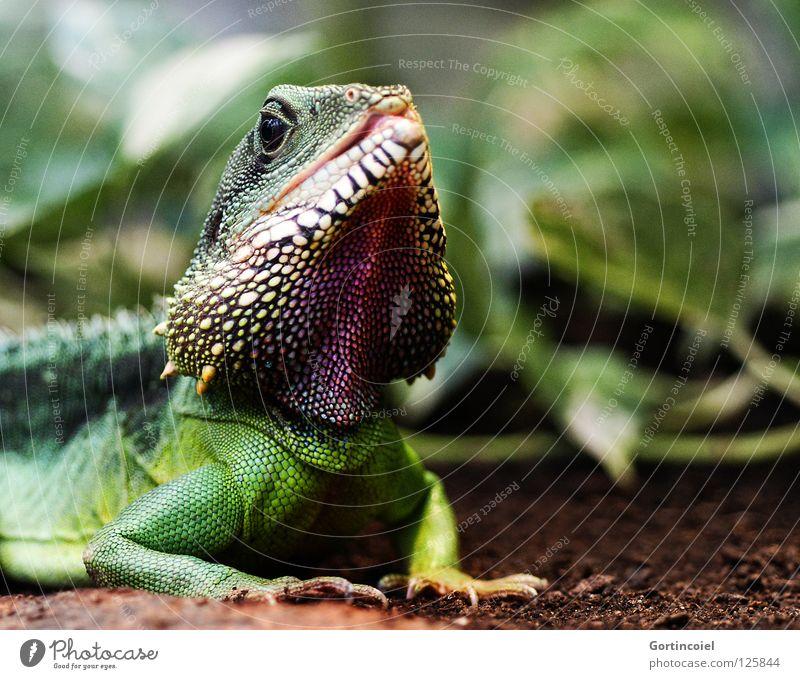 Colorful Chin exotisch Umwelt Natur Tier Erde Pflanze Grünpflanze Wildtier Tiergesicht Schuppen Zoo Reptil Agamen Wasseragame Tierhaut Stachel Maul Zunge Auge