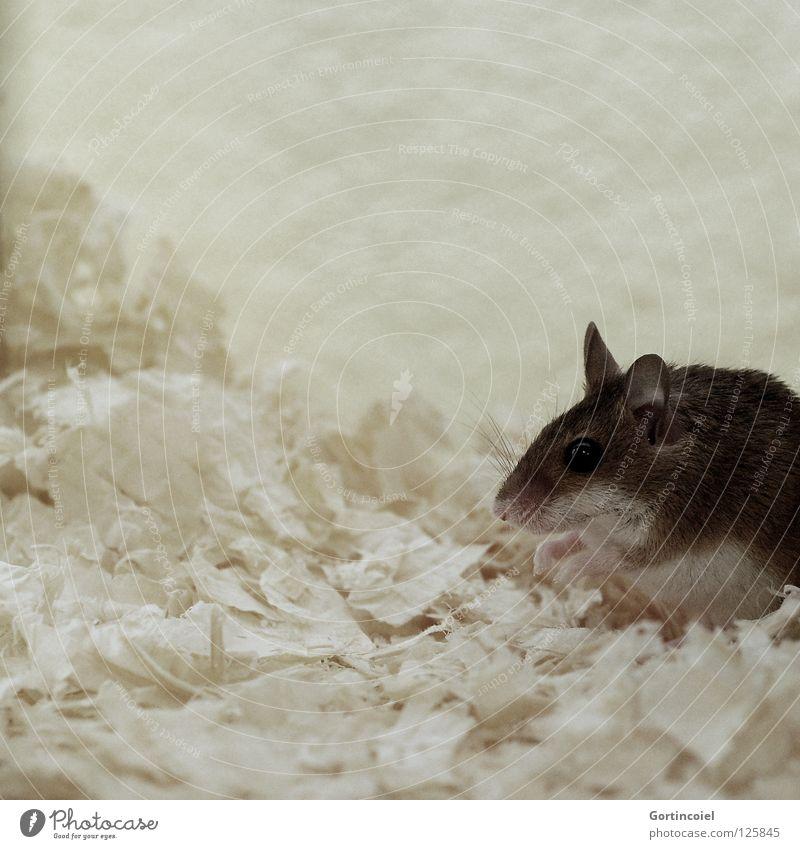 Ne Maus Tier braun klein sitzen Tiergesicht Fell niedlich Säugetier Pfote Haustier hocken Nagetiere Terrarium winzig Knopfauge