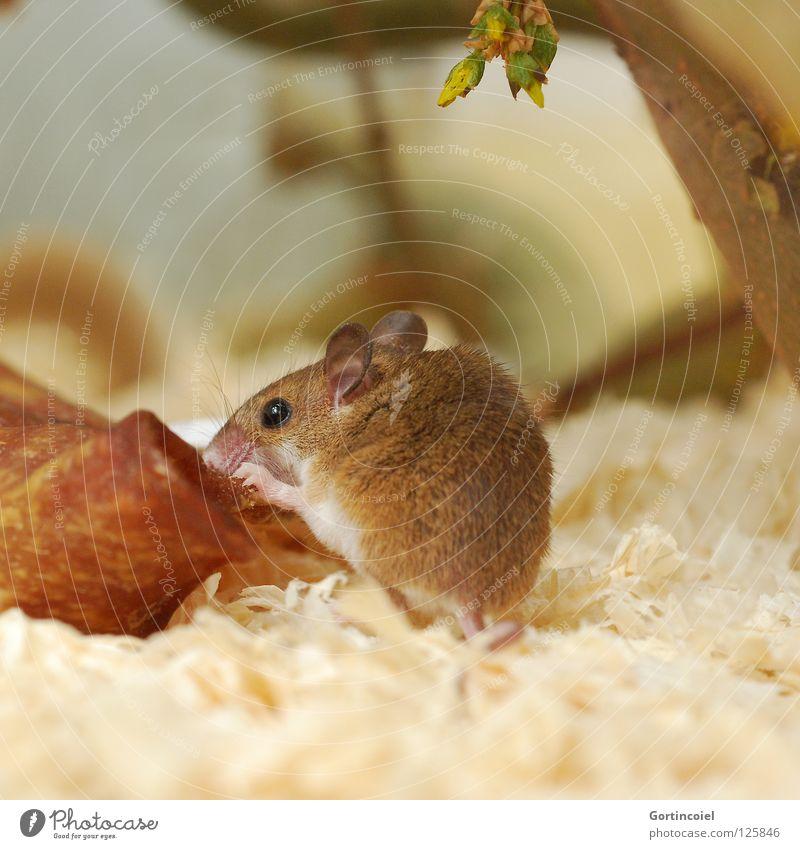 Wenn Mäuse Schweine fressen Tier braun klein Tiergesicht Fell niedlich Maus Säugetier Haustier Fressen Nagetiere Terrarium winzig angefressen Knopfauge nagen
